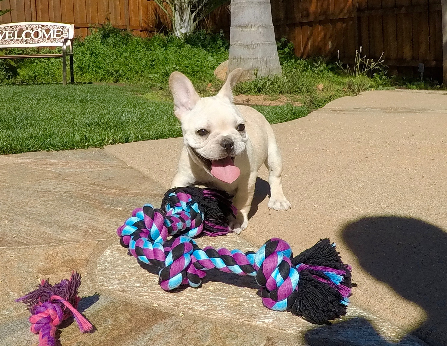 Husky puppies for adoption in california - French Bulldog Puppies For Adoption In California