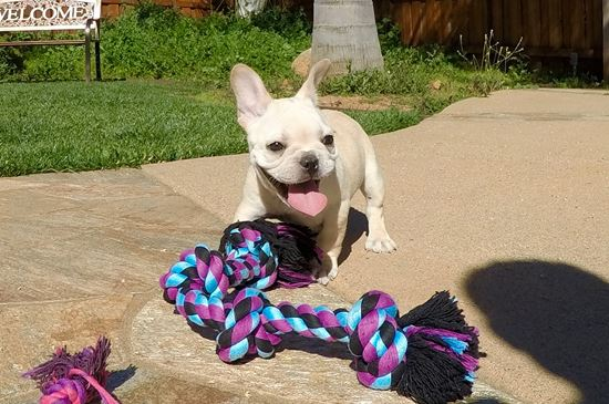 PERFECT female AKC French Bulldog puppy! - 11 week old French Bulldog