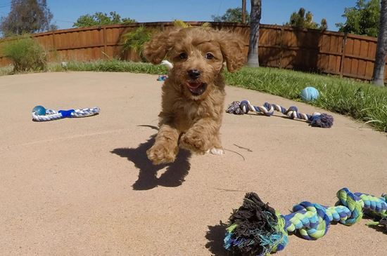 PERFECT CavaPoo designer puppy! - 54 week old Cava Poo