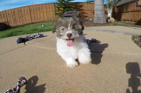 Gorgeous female AKC Havanese puppy!! - 13 week old Havanese