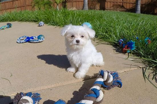 Maltese Puppies For Sale in California, Maltese Pups for