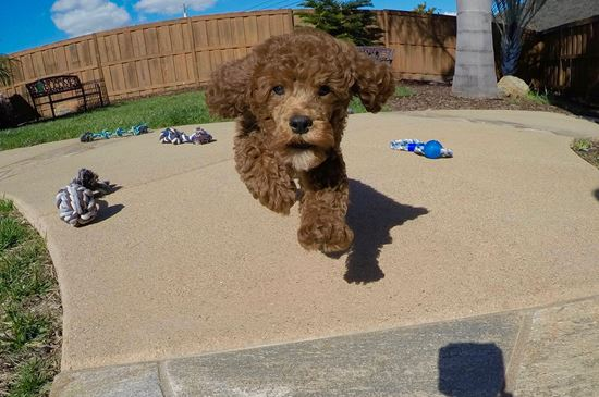 PERFECT Mini GoldenDoodle puppy !! - 13 week old Mini Goldendoodle