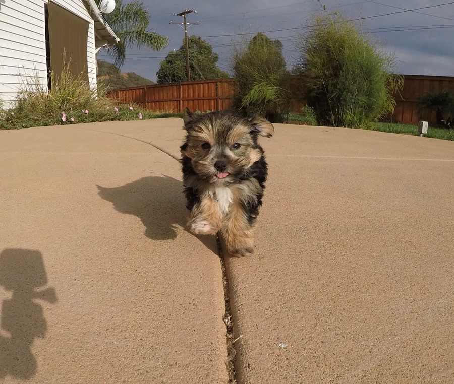Adorable Male Morkie Puppy !! 6