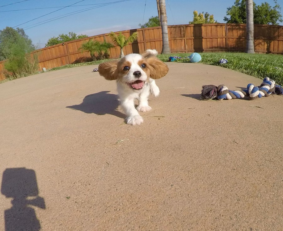 PERFECT male AKC Cavalier puppy! 9