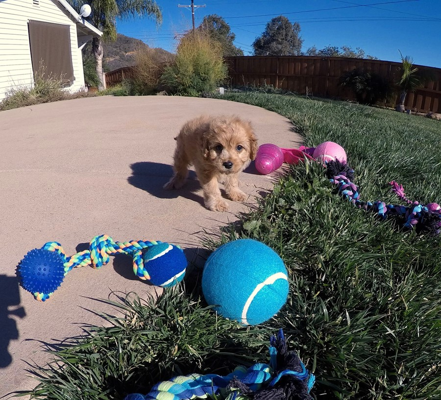 Stunning male Cavapoo puppy !! 13