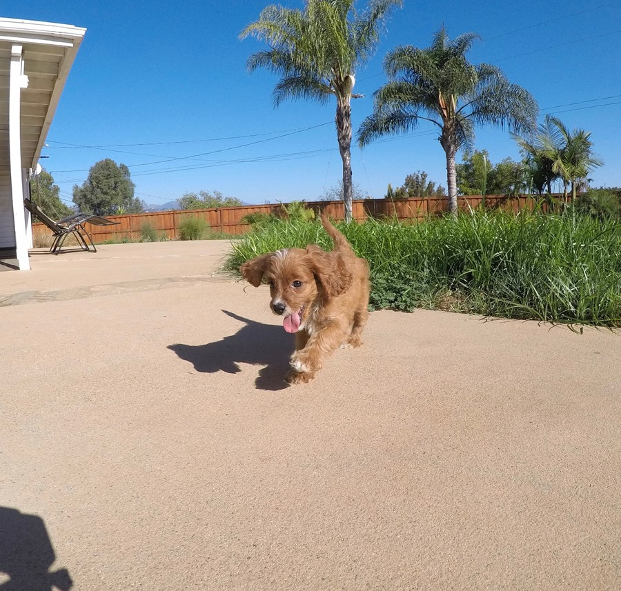 Adorable Female CavaPoo Puppy!! 6