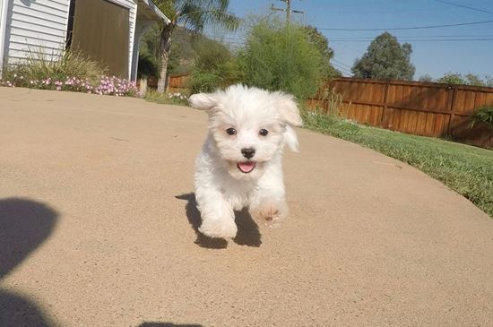Male AKC Maltese puppy !! - 30 week old Maltese
