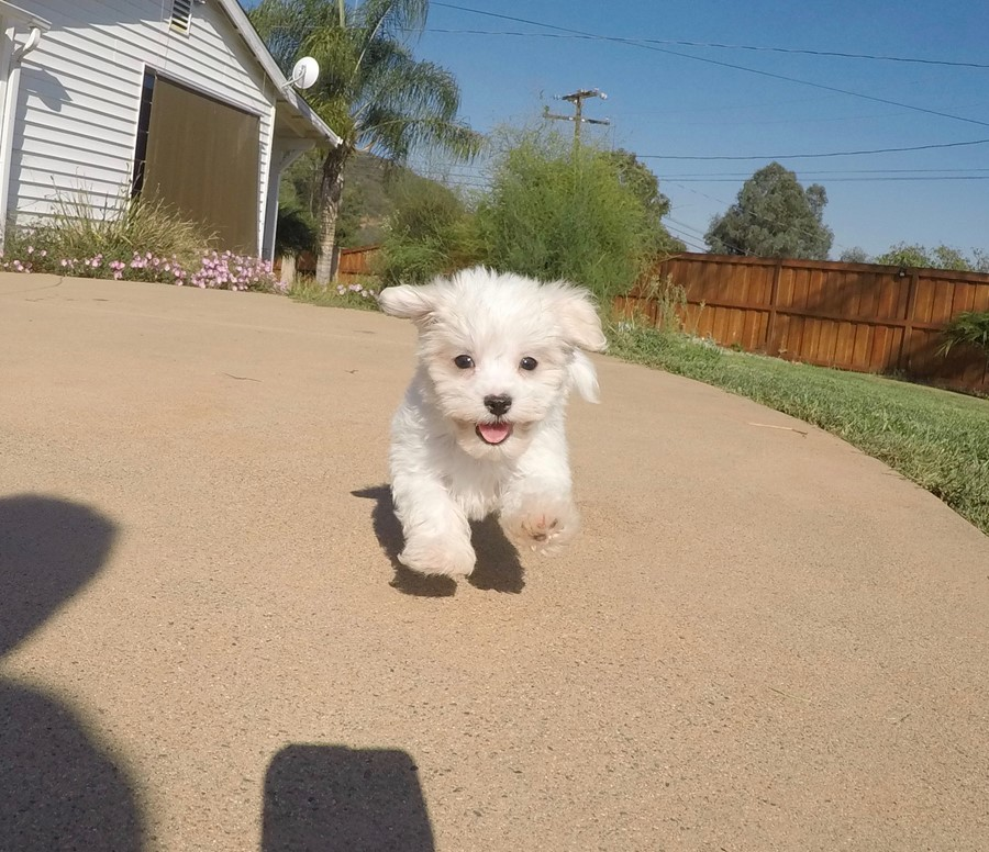 Male AKC Maltese puppy !! 1
