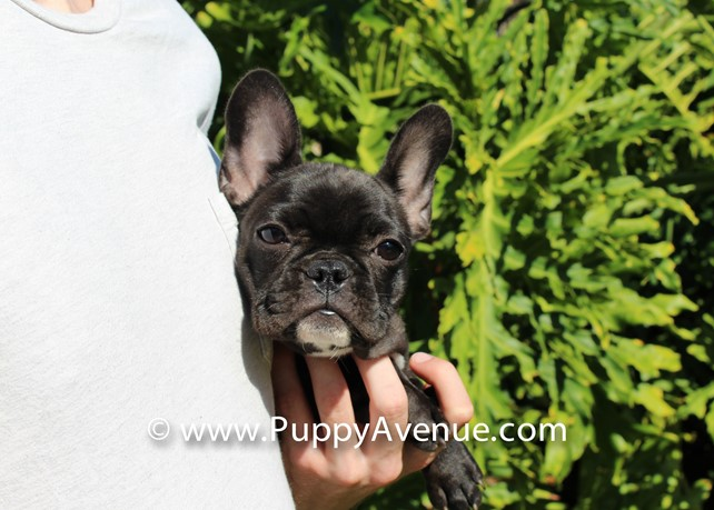 Onyx is our perfect AKC Frenchie Female Puppy For Sale