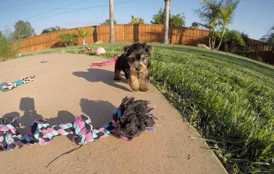 PERFECT female AKC Yorkie puppy! 3