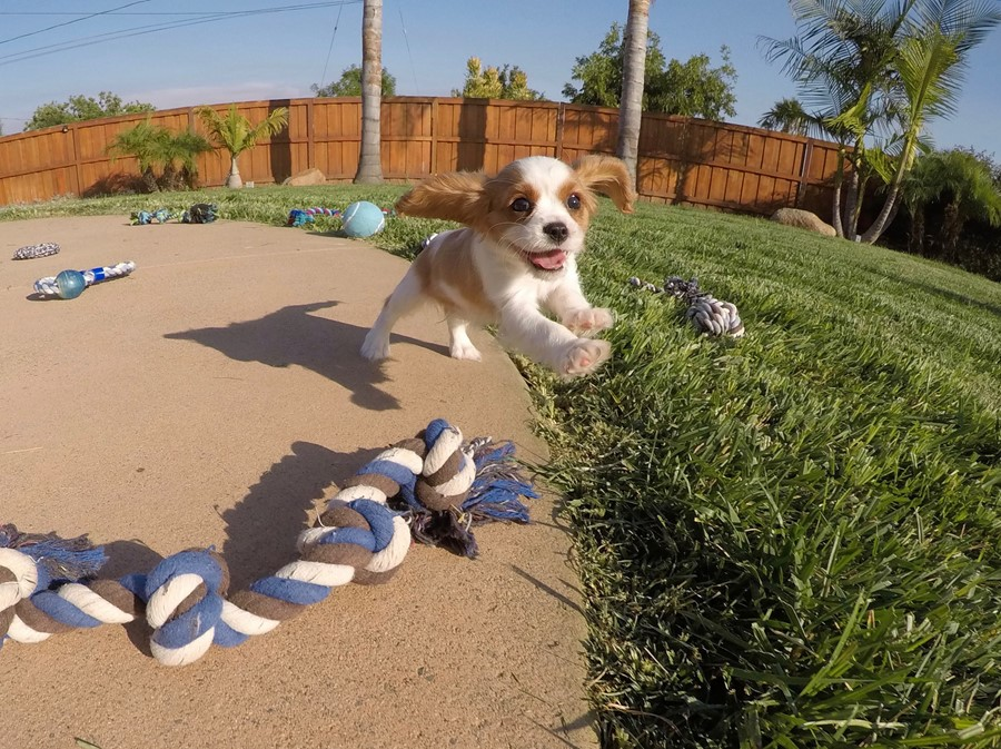 PERFECT male AKC Cavalier puppy! 7