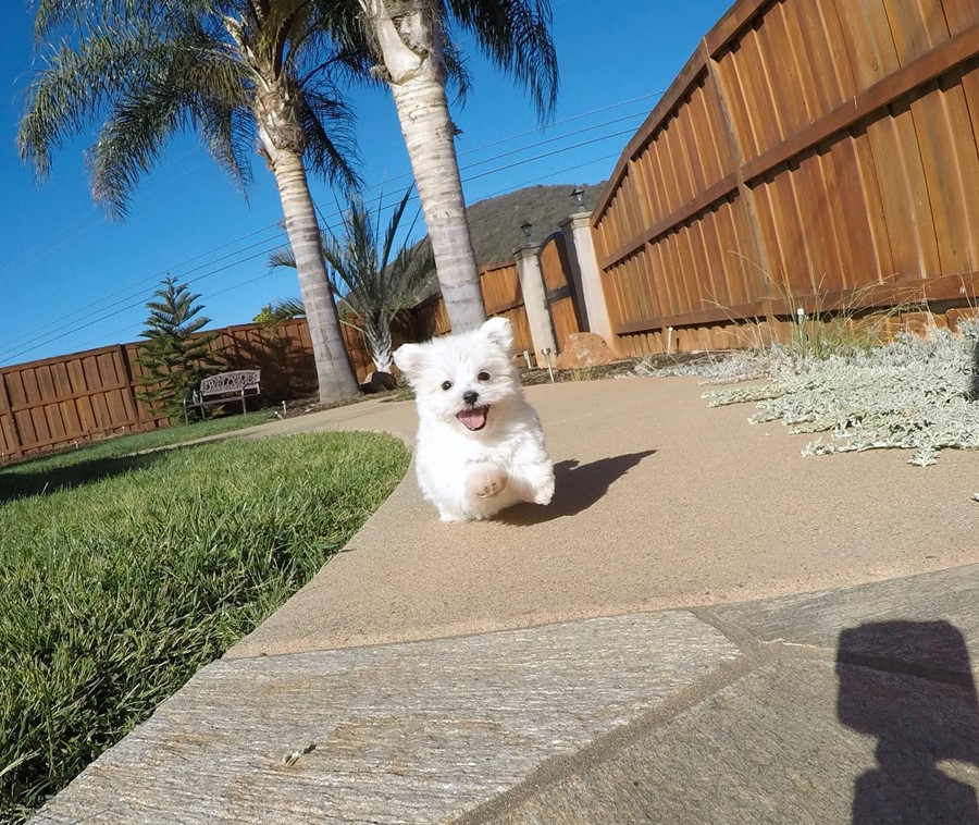 SUPER TINY MaltiPoo Puppy!! 2