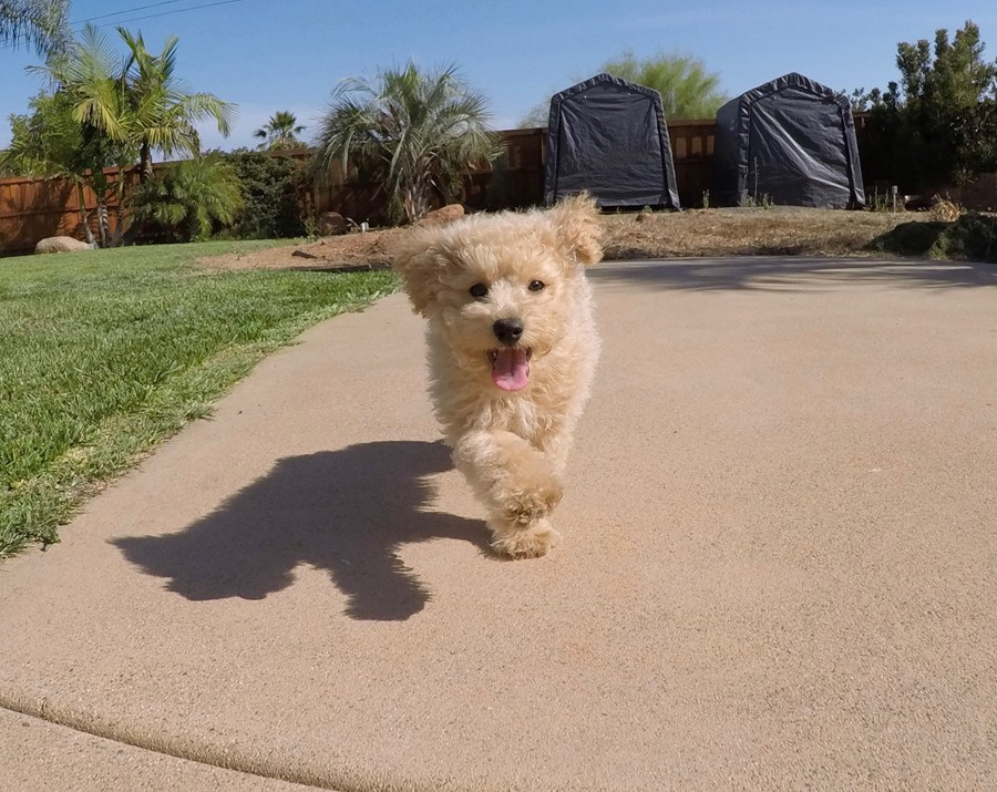 Super cute Male CavaPoo Puppy!! 1