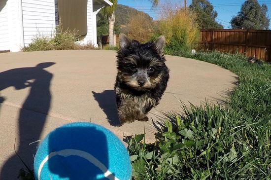 Cute male AKC Yorkie puppy !! - 26 week old Yorkshire Terrier