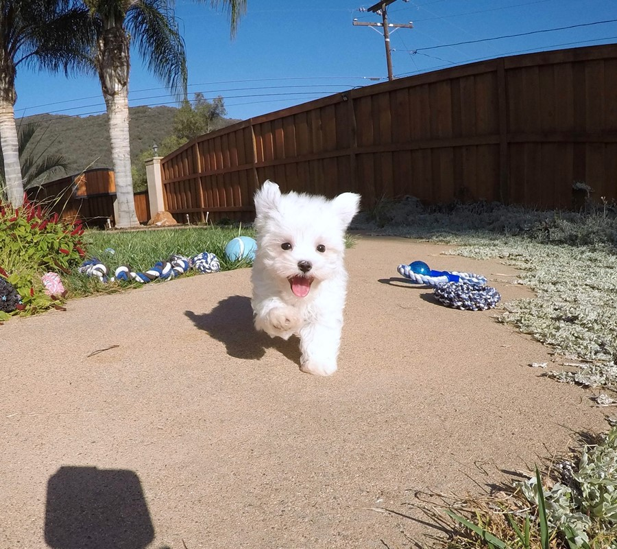 PERFECT Male ACA  Maltese puppy!! 9