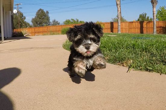TINY male Morkie puppy !! - 41 week old Morkie
