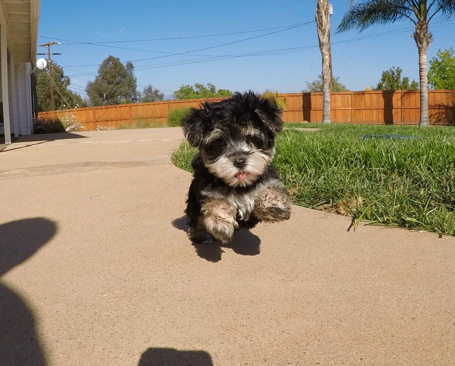 TINY male Morkie puppy !! 1