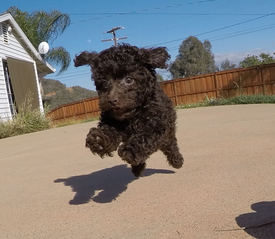 Tiny AKC Toy Poodle puppy !! 11