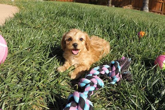 Tiny Female Cavapoo Designer Puppy !! - 11 week old Cava Poo
