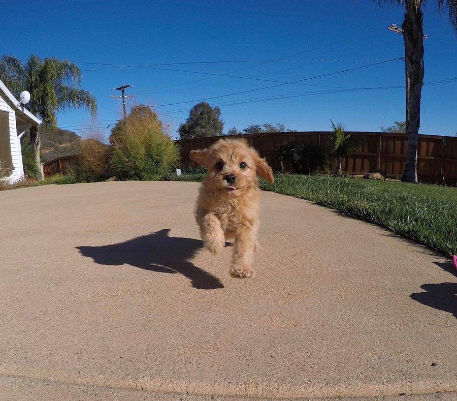 Stunning male Cavapoo puppy !! 7