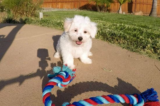 Super cute male MaltiPoo puppy! - 10 week old malti poo