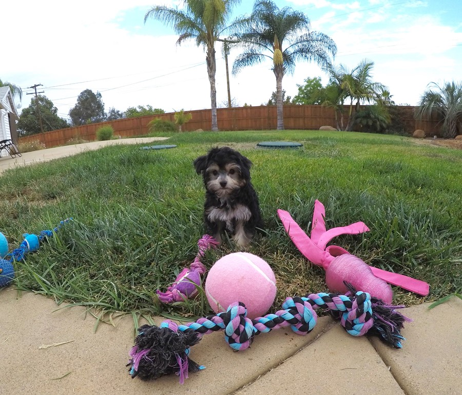 Female YorkiePoo designer puppy! 5