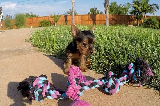 TINY female ACA Yorkie puppy !!  - 16 week old Yorkshire Terrier