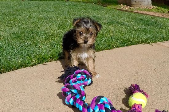 Super tiny female Parti Yorkie puppy! - 14 week old Yorkshire Terrier