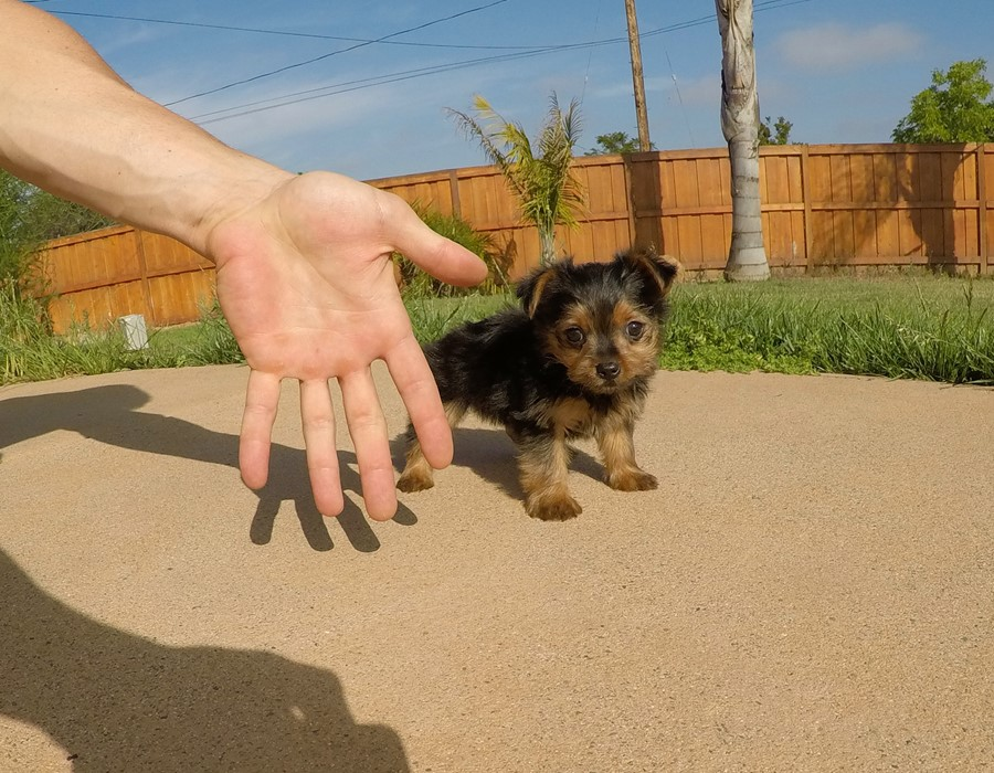 SUPER TINY female Yorkie puppy! 7