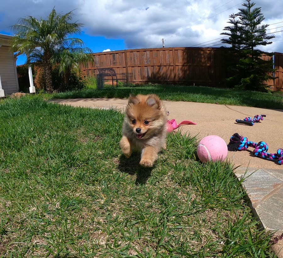 Super cute Pomeranian puppy !!! 4