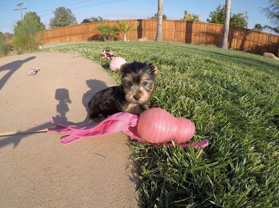 PERFECT female AKC Yorkie puppy! 6