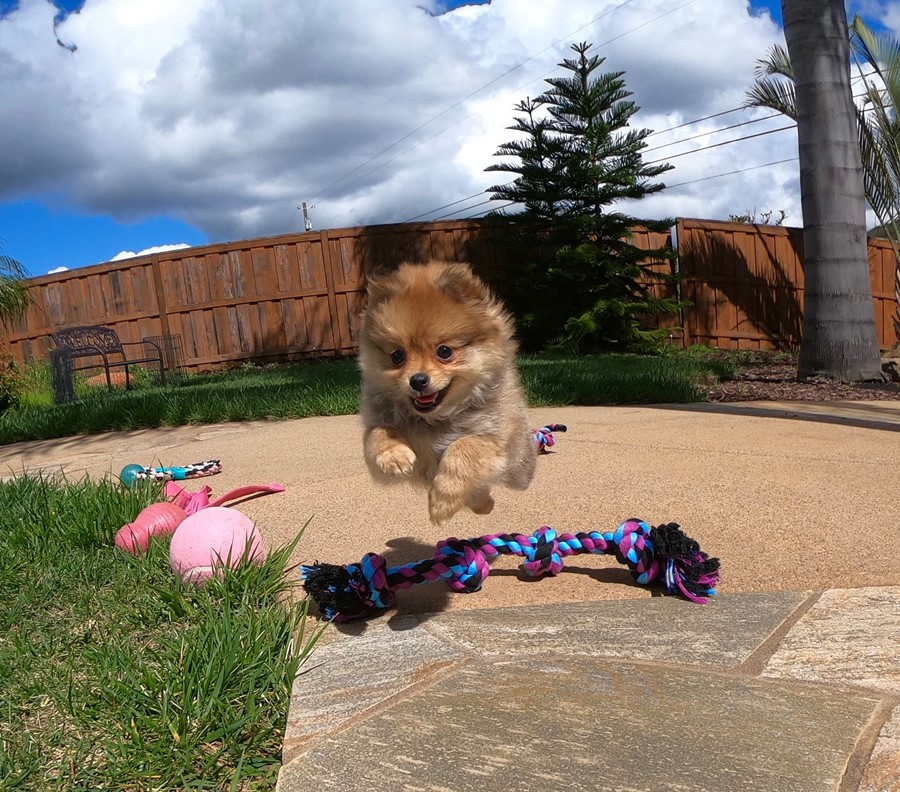 Super cute Pomeranian puppy !!! 10