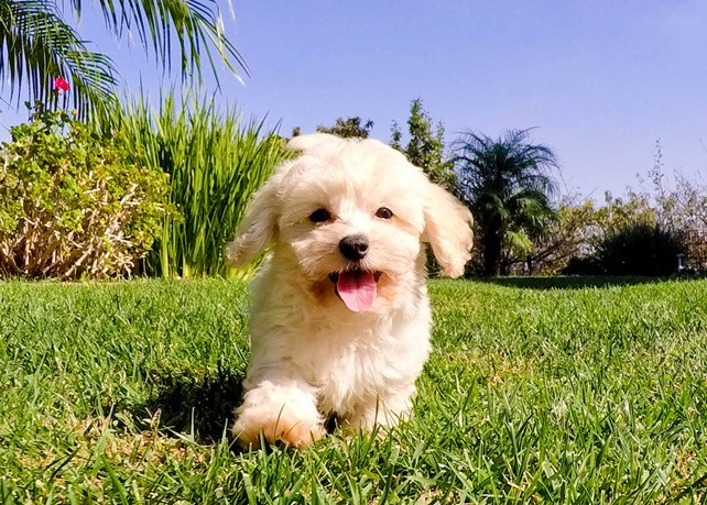Antonio is our Adorable Cavapoo Male Hybrid Puppy