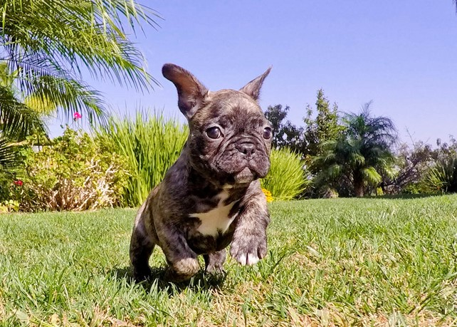 Cash is our Perfect ACA French Bulldog Male Puppy