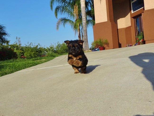 Jessie is our Adorable Female Yorkshire Terrier Puppy !! 3