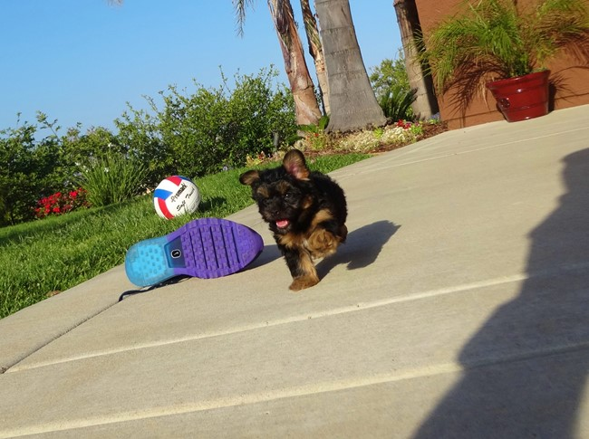 Jessie is our Adorable Female Yorkshire Terrier Puppy !! 1