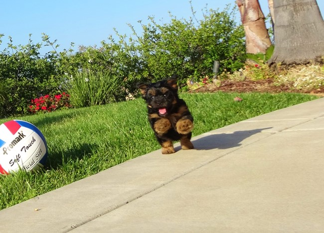 Jessie is our Adorable Female Yorkshire Terrier Puppy !! 2