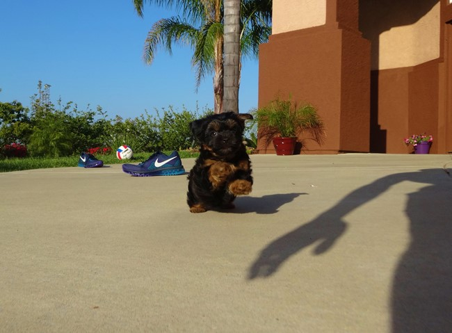 Jessie is our Adorable Female Yorkshire Terrier Puppy !! 4