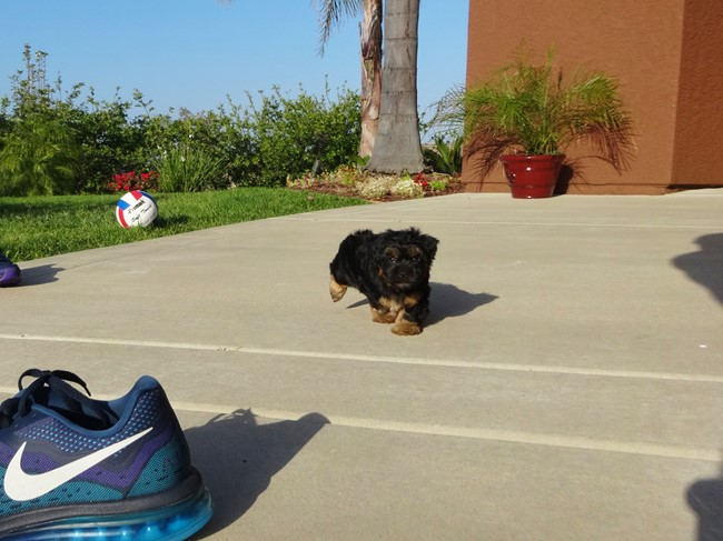 Jessie is our Adorable Female Yorkshire Terrier Puppy !! 5
