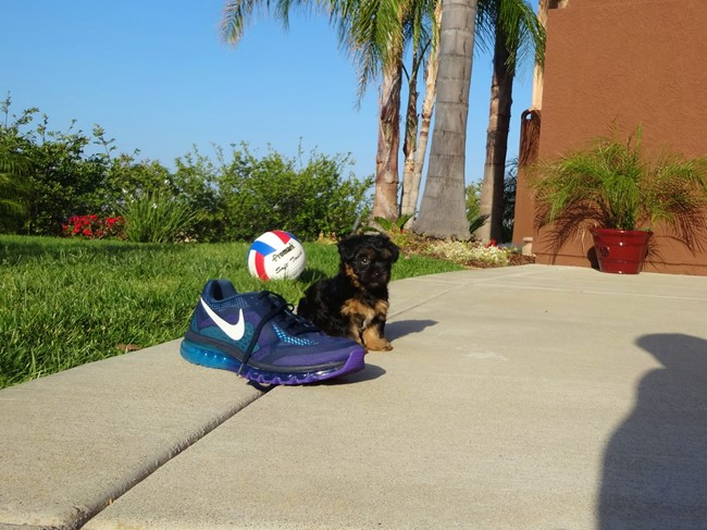 Jessie is our Adorable Female Yorkshire Terrier Puppy !! 7