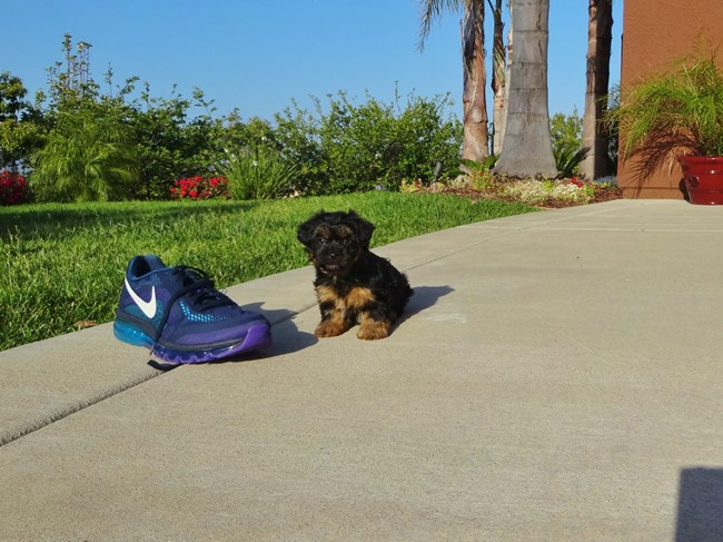 Jessie is our Adorable Female Yorkshire Terrier Puppy !! 8