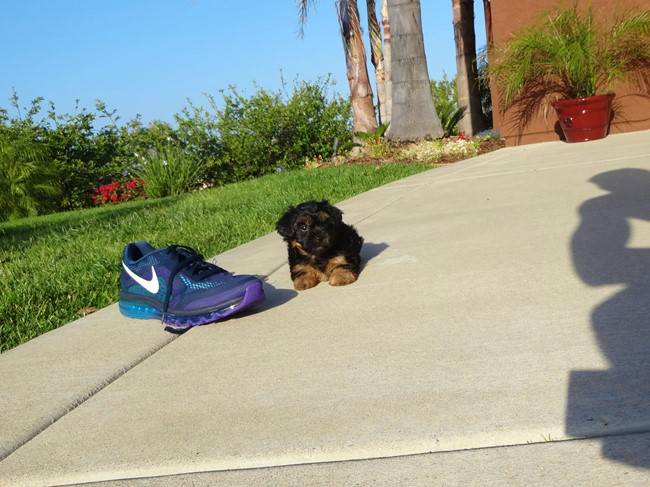 Jessie is our Adorable Female Yorkshire Terrier Puppy !! 9