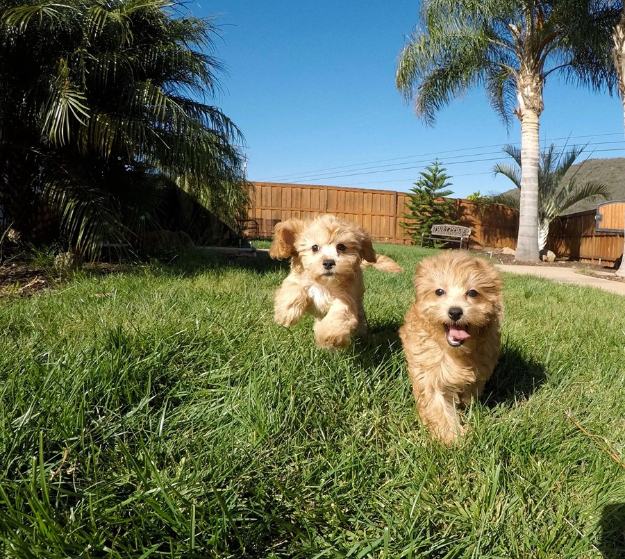 Super Cute Female CavaPoo Puppy! 6