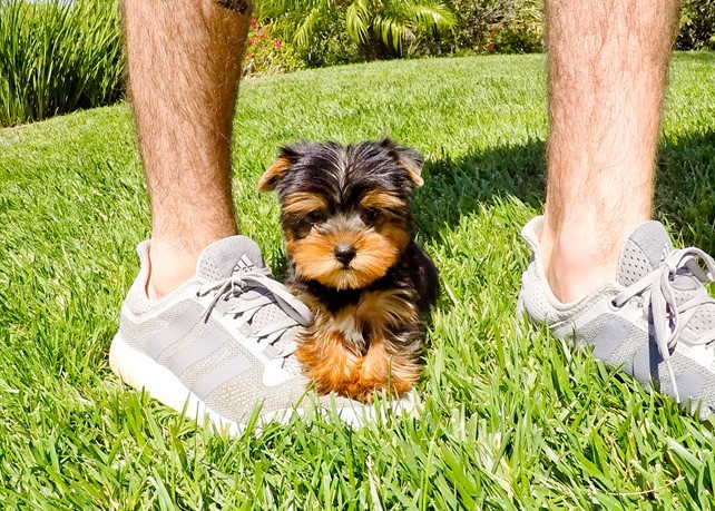 Elijah is our Perfect AKC Yorkie Male Puppy