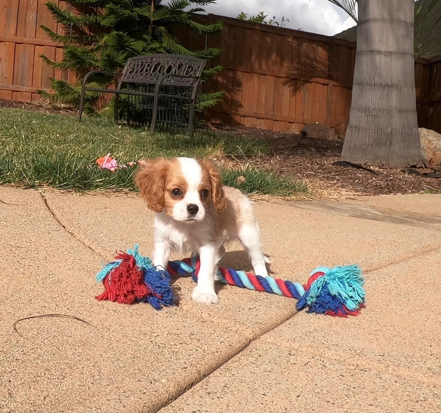 PERFECT male AKC Cavalier puppy!!! 4