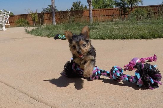 SUPER TINY female Yorkie puppy! - 55 week old Yorkshire Terrier