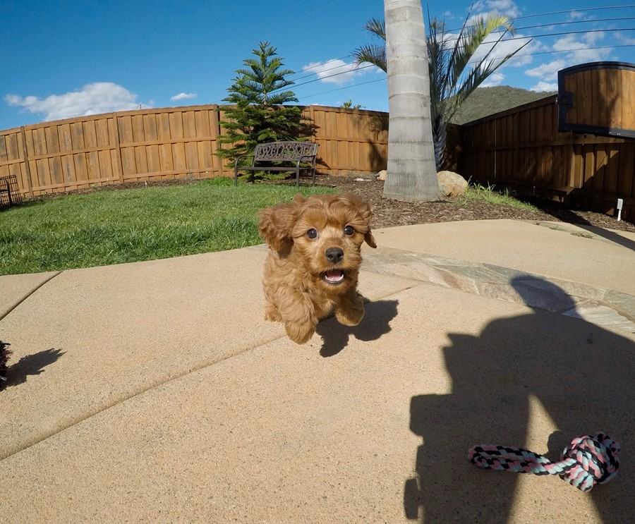 PERFECT CavaPoo designer puppy! 4