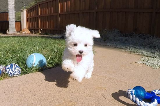 PERFECT Male ACA  Maltese puppy!! - 29 week old Maltese
