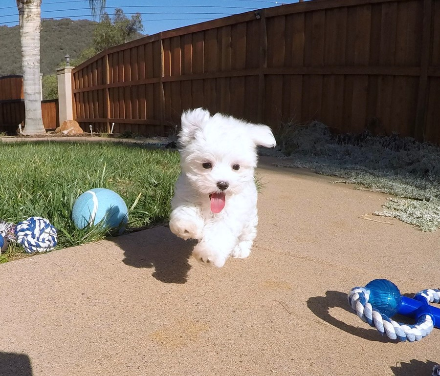 PERFECT Male ACA  Maltese puppy!! 1