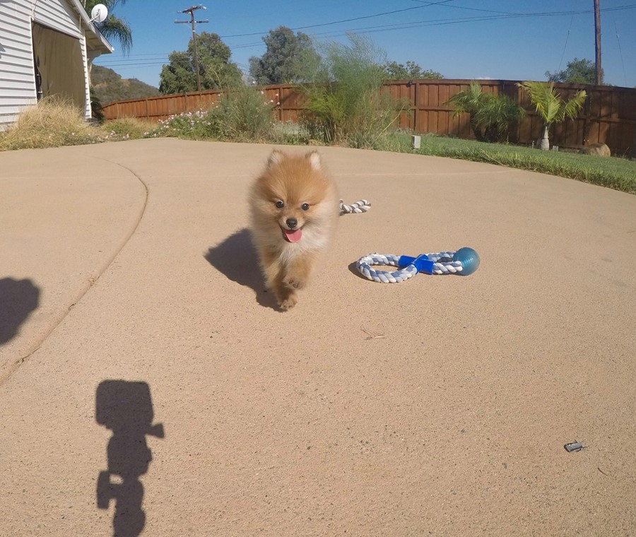 perfect male ACA Pomeranian puppy!! 6